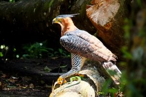 10170960233-ornate-hawk-eagle-spizaetus-ornatus-with-giant-ameiva