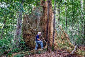 15115027568-kapok-tree