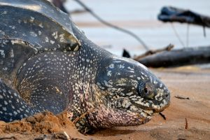 15888959157-leatherback-laying-eggs-at-dawn-in-suriname