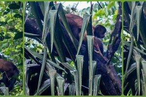 16280415895-tufted-capuchin