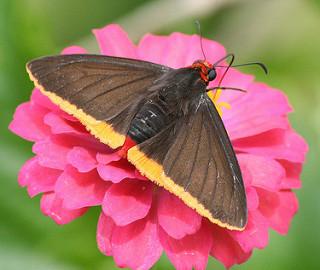 Vlinder Suriname