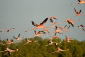 34561289115-american-flamingo-phoenicopterus-ruber