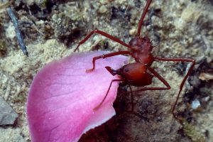 37412152014-pushing-pink-atta-sp-red-leafcutter-ant-danpaati-upper-suriname-river-suriname