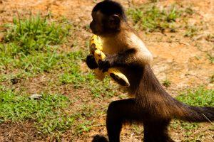 5311929757-anaula-capuchin-monkey-stealing-banana-2