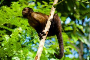 5312516108-anaula-capuchin-monkey