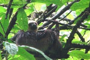 831484536-sloths-get-wet-too-luiaarden-worden-ook-nat