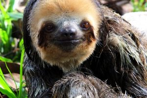8465398666-pale-throated-three-toed-sloth-bradypus-tridactylus