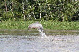 dolfijn commewijne