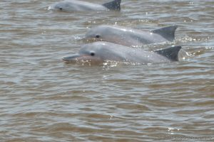 river-dolphins-suriname