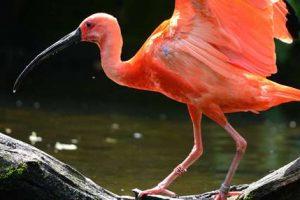 rode-ibis-foto-1
